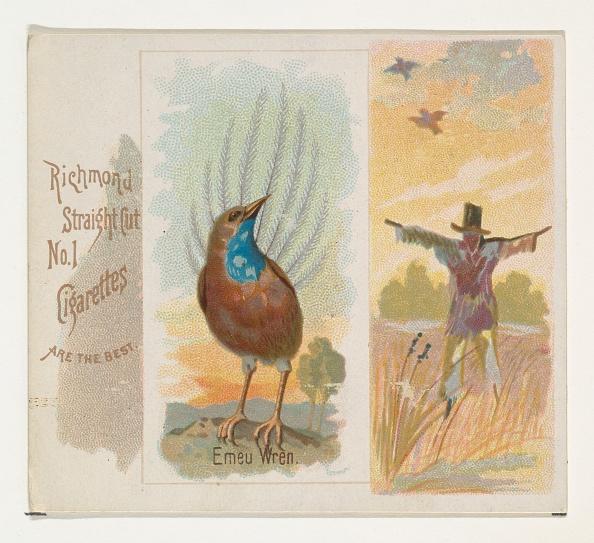 Songbird「Emeu Wren」:写真・画像(2)[壁紙.com]