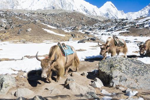 Pack Animal「Yaks on Everest Trek, Khumbu Valley, Nepal」:スマホ壁紙(15)