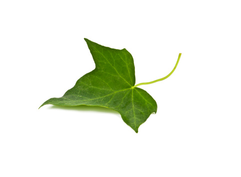 Ivy「Ivy Leaf」:スマホ壁紙(17)