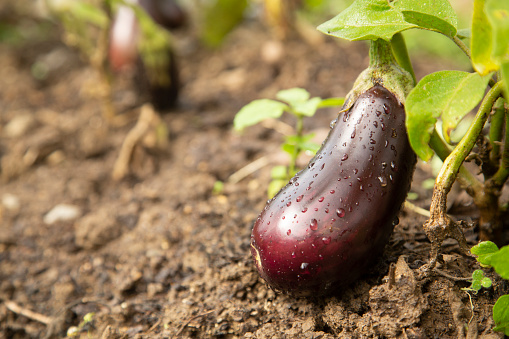 Eggplant「Aubergine growing in farm.」:スマホ壁紙(6)