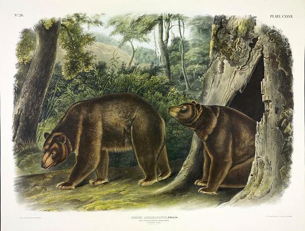 Chromolithograph「Ursus Americanus」:写真・画像(8)[壁紙.com]
