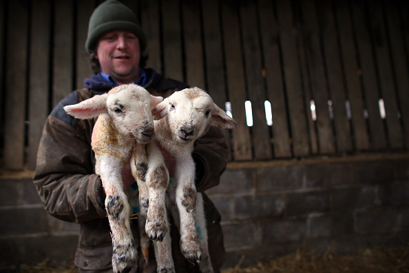 Vertebrate「A Farmer Helps His Ewes Give Birth As Lambing Season Begins」:写真・画像(11)[壁紙.com]