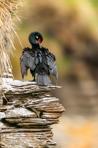 Falkland Islands「Rock cormorant (Phalacrocorax magellanicus). Falkland Islands」:スマホ壁紙(19)