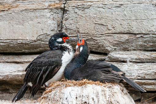 Falkland Islands「Rock Cormorant (Phalacrocorax magellanicus)」:スマホ壁紙(16)