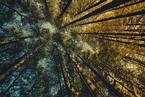 Himachal Pradesh「Worm eye view of pine trees in woods at dawn.」:スマホ壁紙(5)