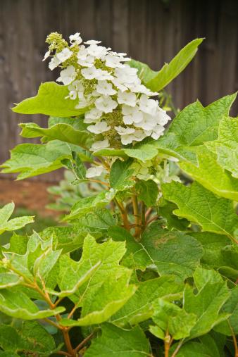 あじさい「Snow Queen Oakleaf Hydrangea blossoms」:スマホ壁紙(4)