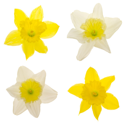 Digital Composite「Daffodils (XXL)」:スマホ壁紙(15)