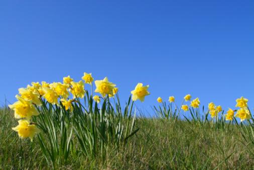 水仙「Daffodils」:スマホ壁紙(4)
