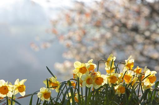 水仙「Daffodils」:スマホ壁紙(6)