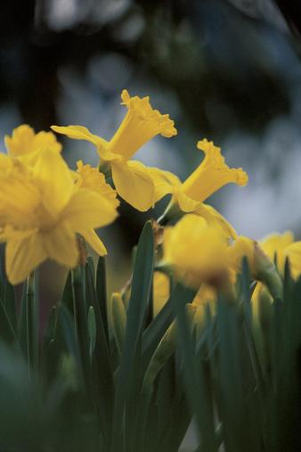 水仙「Daffodils」:スマホ壁紙(5)