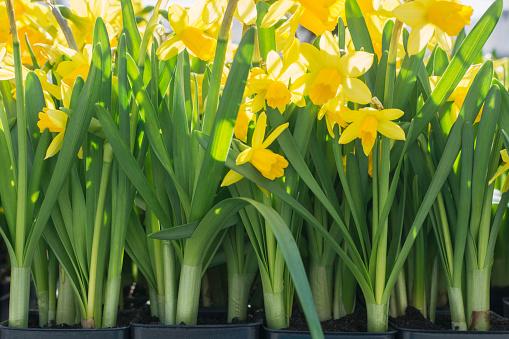 水仙「Daffodils」:スマホ壁紙(3)