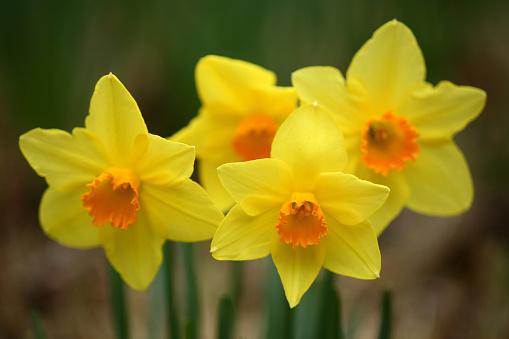 水仙「Daffodils」:スマホ壁紙(19)
