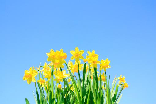 水仙「Daffodils」:スマホ壁紙(9)