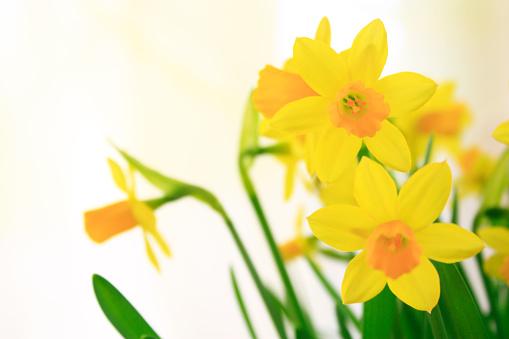 水仙「Daffodils」:スマホ壁紙(8)