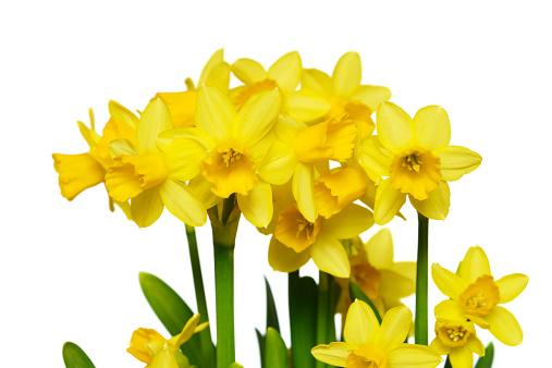 水仙「Daffodils (Narcissus)」:スマホ壁紙(17)