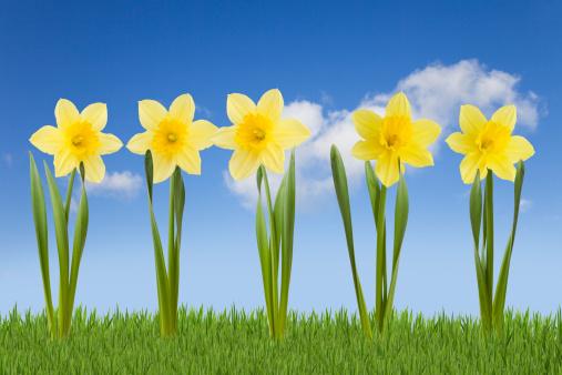 水仙「Daffodils ます。」:スマホ壁紙(8)
