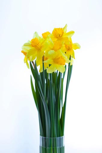 ラッパズイセン「Daffodils」:スマホ壁紙(11)