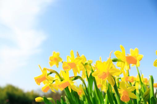 ラッパズイセン「Daffodils」:スマホ壁紙(12)