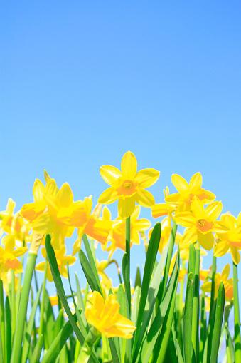 ラッパズイセン「Daffodils」:スマホ壁紙(13)