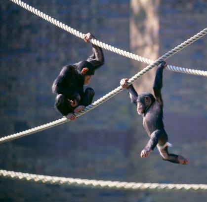 Playing「Chimpanzees playing」:スマホ壁紙(18)