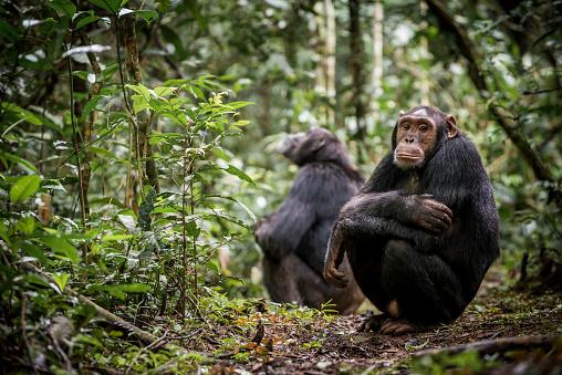 Uganda「Chimpanzees in Kibale National Park」:スマホ壁紙(15)
