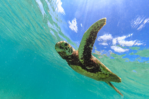 Green Turtle「Turtle having fun」:スマホ壁紙(2)