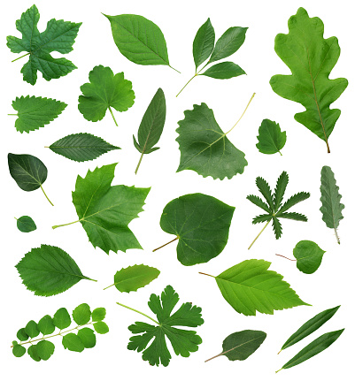 Digital Composite「Leaves Leaf Isolated Collection Assortment」:スマホ壁紙(16)