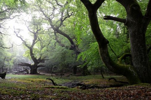 Old Growth Forest「Woodland sunrise」:スマホ壁紙(19)