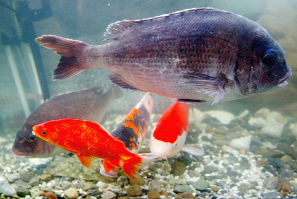 "Carp「Scientists Develop ""Nano Bubble Water"" In Japan」:写真・画像(0)[壁紙.com]"