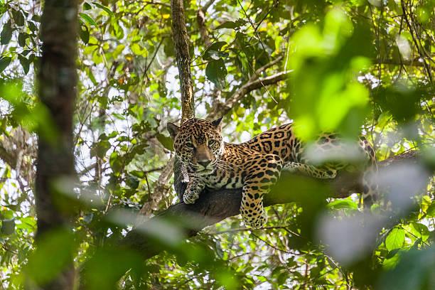 Captive jaguar:スマホ壁紙(壁紙.com)