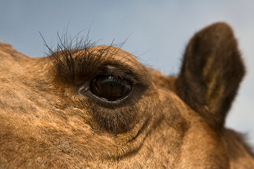Rajasthan「Camel Eye」:スマホ壁紙(0)