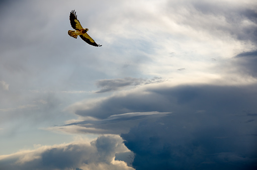 Hawk - Bird「Soaring Swainson's Hawk with a variety of sky backgrounds」:スマホ壁紙(10)