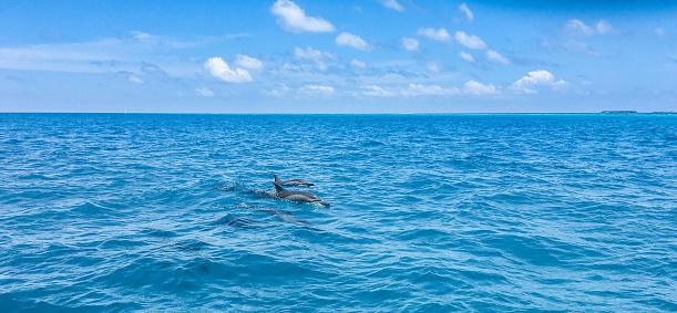 イルカ「Spotted Dolphins Surfacing」:スマホ壁紙(15)