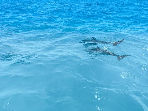 イルカ「Spotted Dolphins Surfacing」:スマホ壁紙(14)