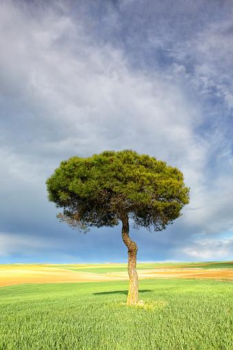 Single Tree「Spain, Province of Zamora, single Scots pine in the Natural Reserve of Lagunas de Villafafila」:スマホ壁紙(4)