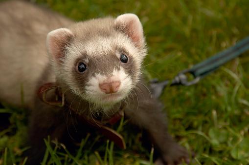 Three Quarter Length「Pet ferret」:スマホ壁紙(0)