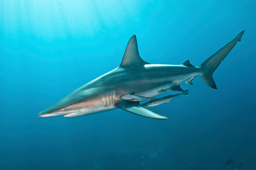 Blacktip Shark「Oceanic blacktip shark with remora in the waters of Aliwal Shoal, South Africa.」:スマホ壁紙(17)