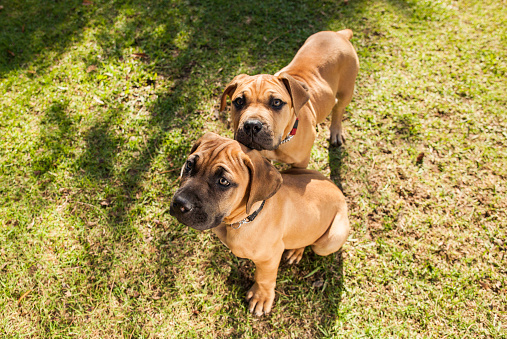 Carefree「Two Boerboel puppies relaxing together at the park.」:スマホ壁紙(10)
