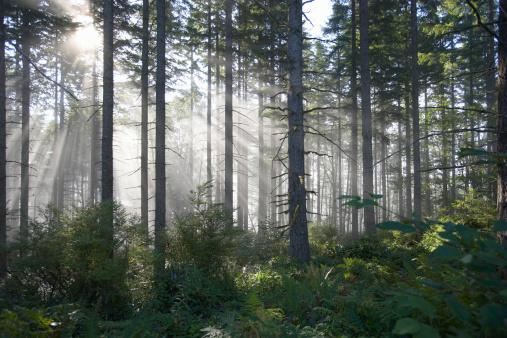 常緑樹「Sunlight breaking through misty forest」:スマホ壁紙(11)