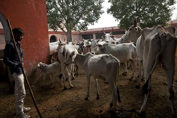 Cow「Patrolling With India's Cow Protection Vigilantes」:写真・画像(14)[壁紙.com]