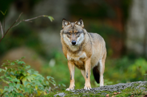 Animals Hunting「Eurasian Wolf (Canis lupus lupus) standing」:スマホ壁紙(6)
