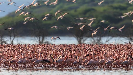 Lake Bogoria National Park「Lesser Flamingos at Lake Bogoria」:スマホ壁紙(13)