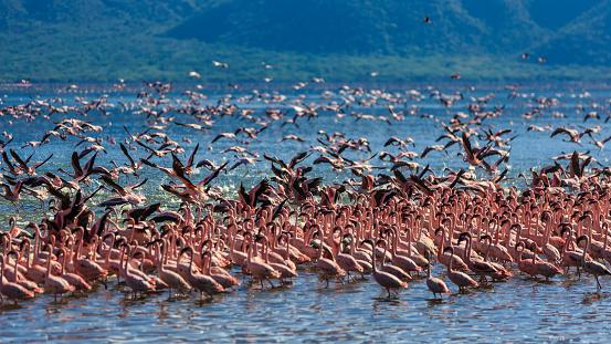 Lake Bogoria National Park「Lesser Flamingos at Lake Bogoria」:スマホ壁紙(4)