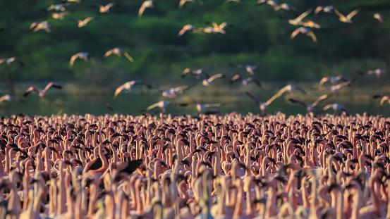 Lake Bogoria National Park「Lesser Flamingos at Lake Bogoria」:スマホ壁紙(9)