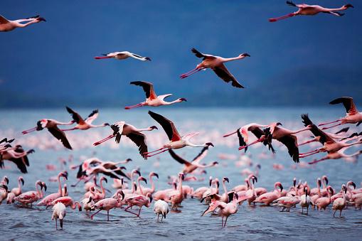 Lake Bogoria「Lesser Flamingos at Lake Bogoria in Kenya」:スマホ壁紙(0)