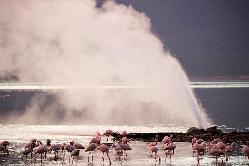 Lake Bogoria「Lesser Flamingos at Lake Bogoria's geyser and hot springs」:スマホ壁紙(18)
