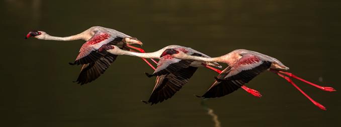 The Nature Conservancy「Lesser flamingos in flight at Lake Bogoria」:スマホ壁紙(15)