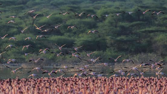 Lake Bogoria National Park「Lesser flamingos in flight over Lake Bogoria」:スマホ壁紙(14)
