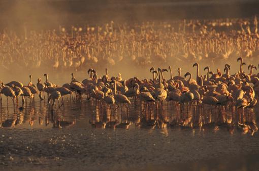 Lake Bogoria「lesser flamingos, phoeniconaias minor」:スマホ壁紙(12)