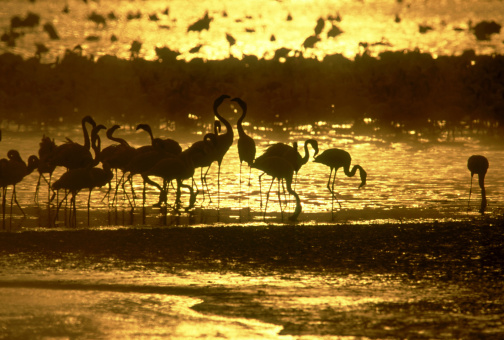 Lake Bogoria「lesser flamingos, phoeniconaias minor, at dawn, lake bogoria, kenya」:スマホ壁紙(17)